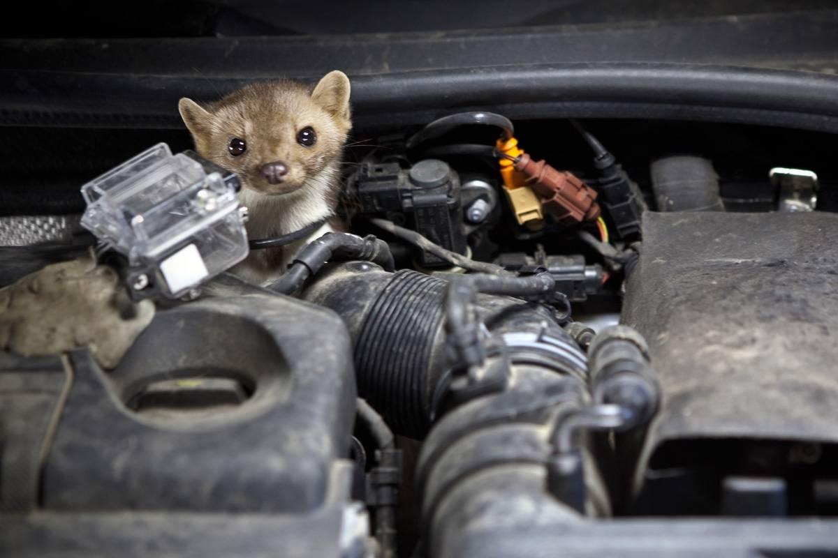So ist das Auto vor scharfen Marderzähnen geschützt